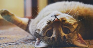 katten lichaamstaal